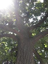Le chêne de la Place Lionel Terray