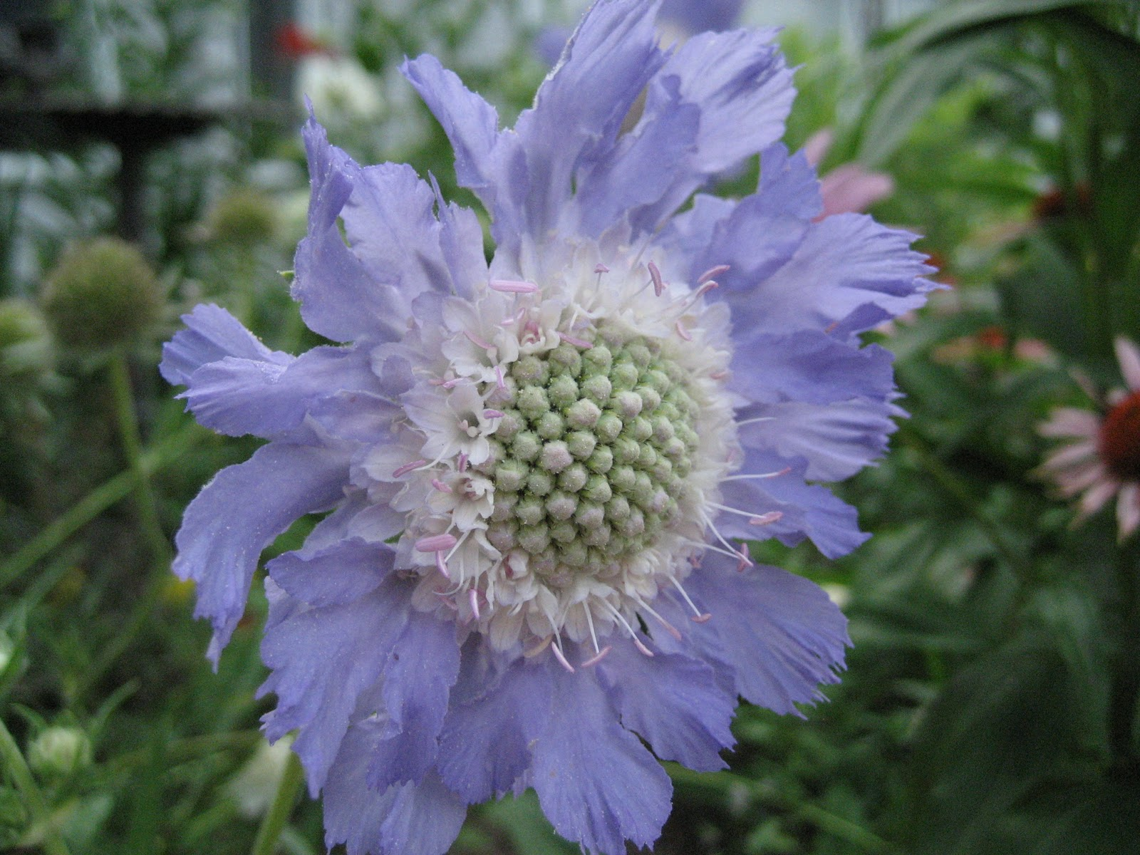 Seeded Earth Scabiosaa Not So Pretty Name