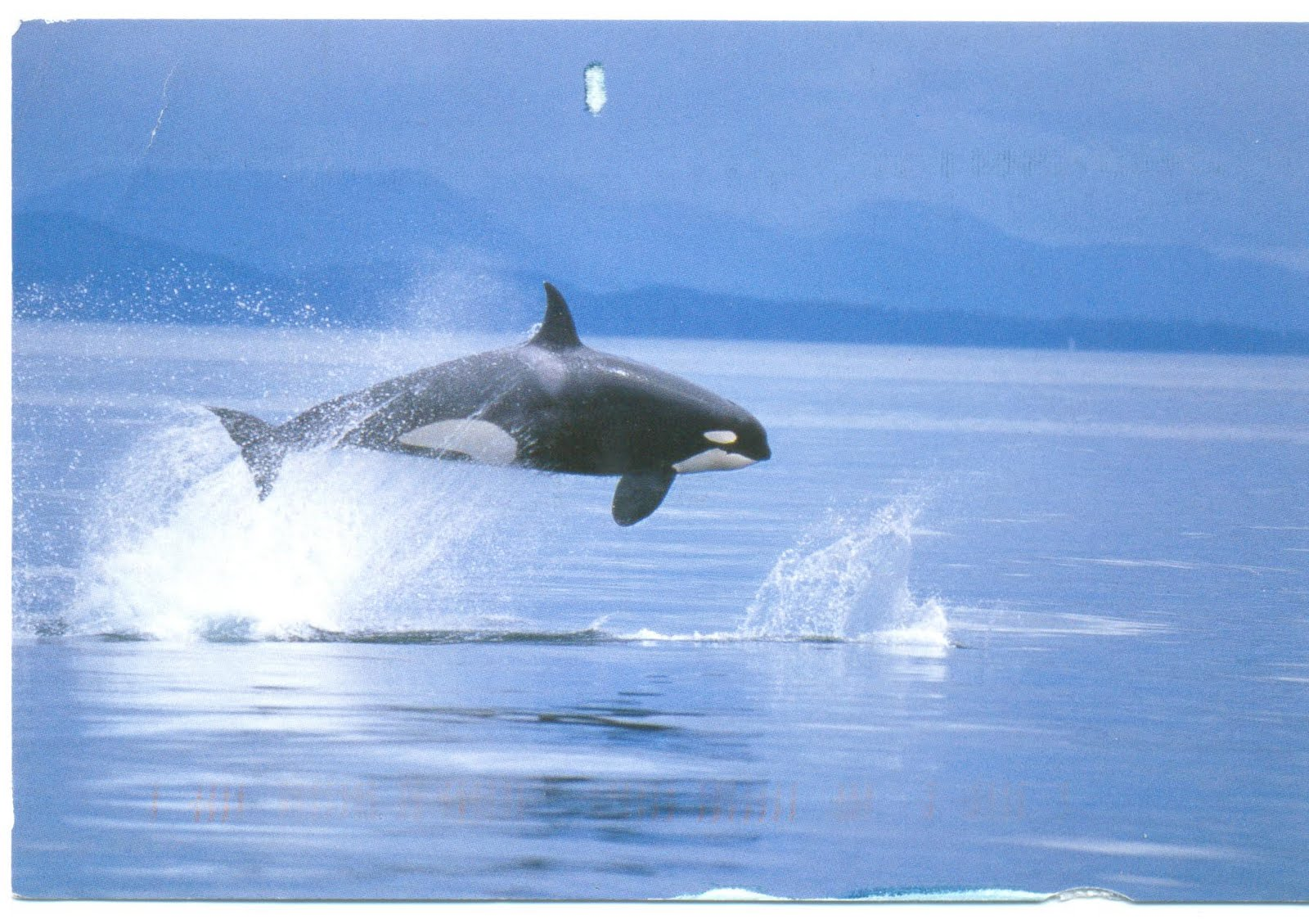 killer whales essay The killer whale name institutional affiliation the killer whale the killer whale is one of the largest predators in the sea it has a rounded head, black and white body patterns, and long dorsal fin.