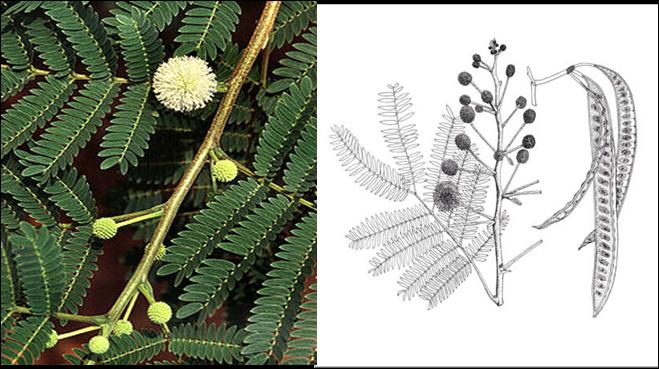 Sativa Perkembangan Bunga Menjadi Buah Lamtoro Leucaena Glauca