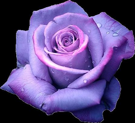Lauren london beautiful for Purple rose pictures