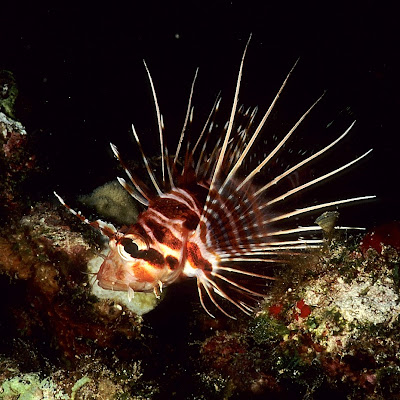 Hawaiian Turkeyfish (Pterois sphex)