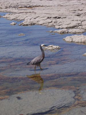 White-faced Heron (Ardea noavaehollandiae)
