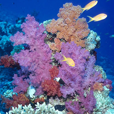 Nephtheid soft corals in the Red Sea