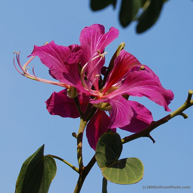 Hong Kong Orchid Tree blossom (Bauhinia blakeana)
