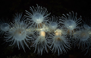 Colonial anemone (Nemanthus annamensis)