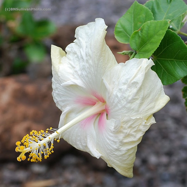 Ivory Hibiscus blossom