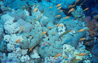 Bubble coral on a Red Sea reef