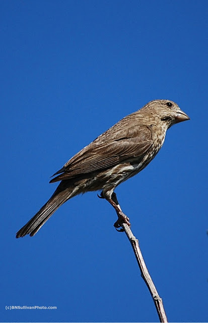 Female House Finch(Carpodacus mexicana)