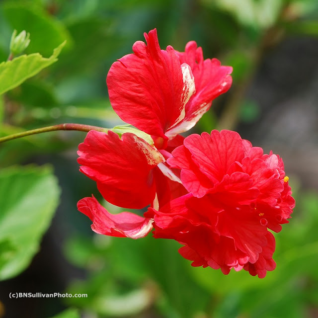 Hawaii Belle hibiscus