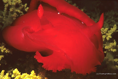 Spanish Dancer (Hexabranchus sanguineus)