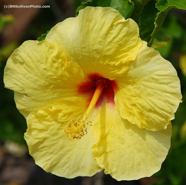 Hula Girl hibiscus