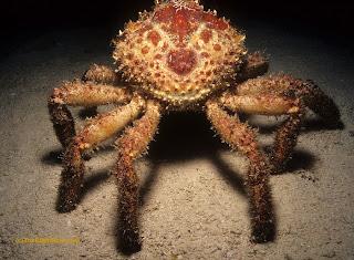 Mithrax spinosissimus