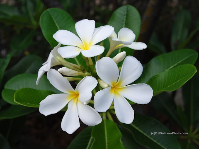 Singapore Plumeria (Plumeria obtusa) title=
