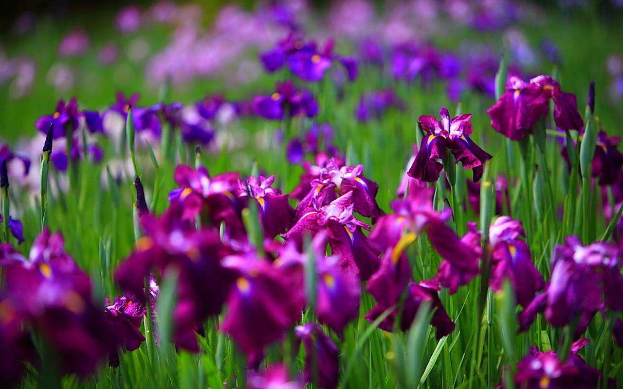 Iris flower wallpapers quotes wallpapers iris flower 658 10 izmirmasajfo