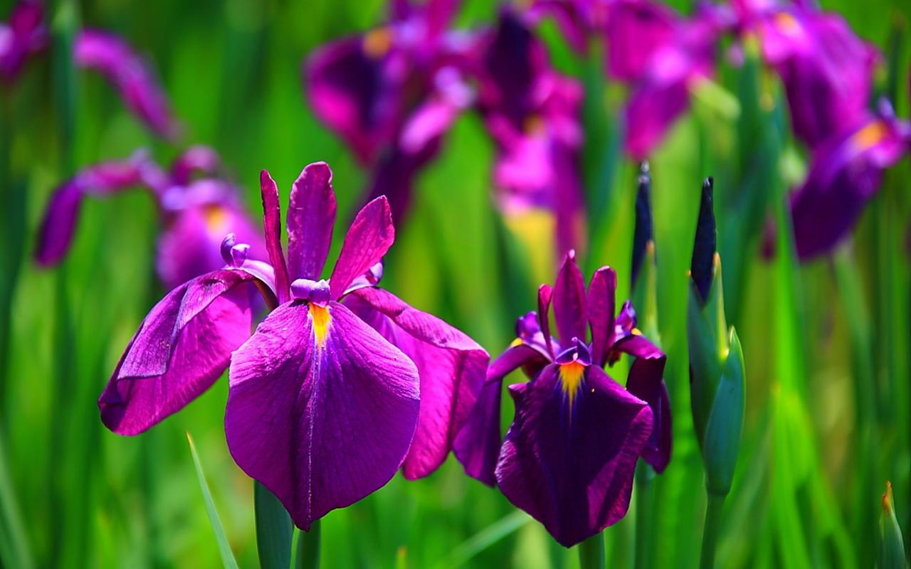The Black Mamba Iris Flower Wallpapers