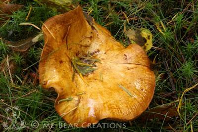 nature, fall, autumn, mushroom, shrimp, macro, natuur, herfst, najaar, paddenstoel, utrechtse heuvelrug