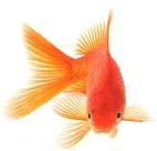 How To keep The Goldfish: How To Keep The Goldfish|Goldfish Varieties