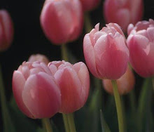 ♥Tulipani♥