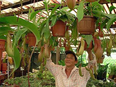 Cups of prosperity: Lim Ah Keat admiring the fruits of his labour - beautiful pitcher plants - at his nursery at Bercham, Ipoh.