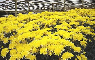 Cheery: A burst of sunshine from yellow chrysanthemums.