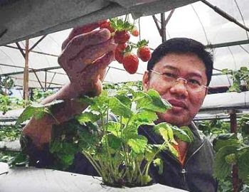 Getting ripe: Chung showing the unplucked strawberries at his farm in Genting Highlands recently.