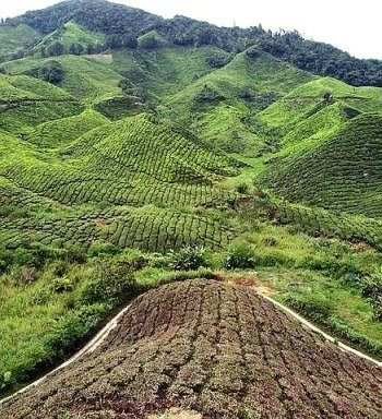 The tea plantations of Cameron Highlands are a big draw for tourists.