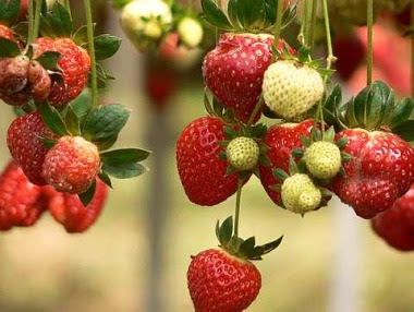 Have your pick of fresh strawberries from the farm.
