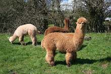 My alpaca family