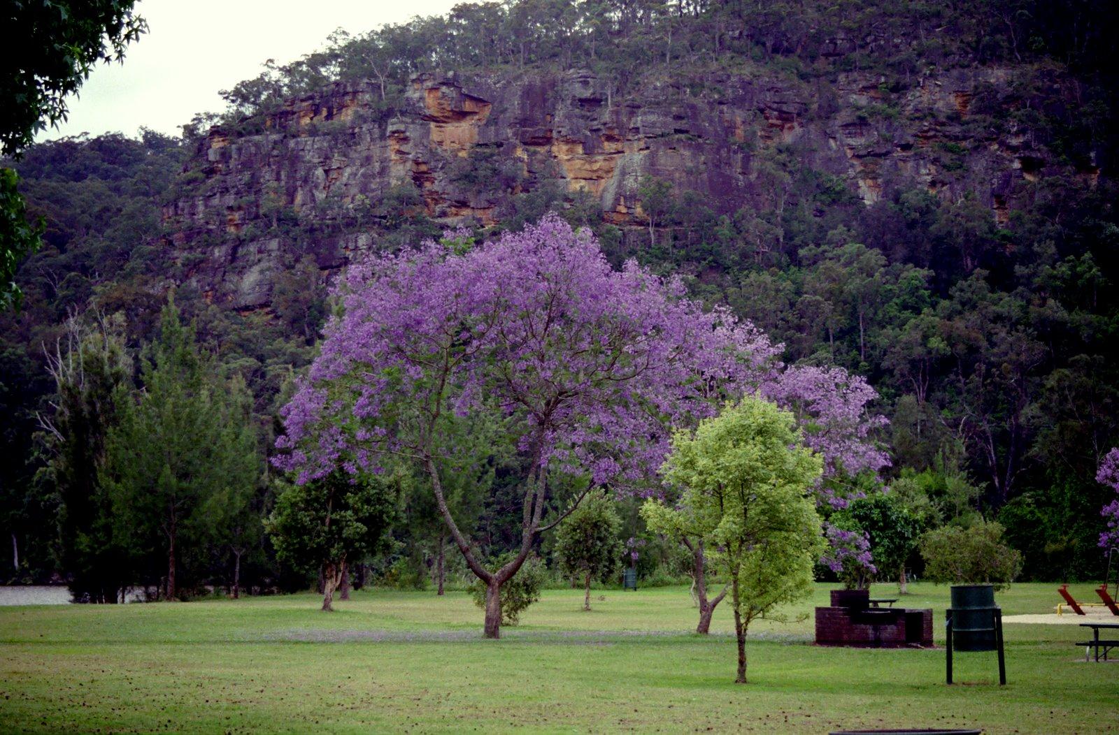 Shirat devorah under the jacaranda tree for Arboles de jardin fotos
