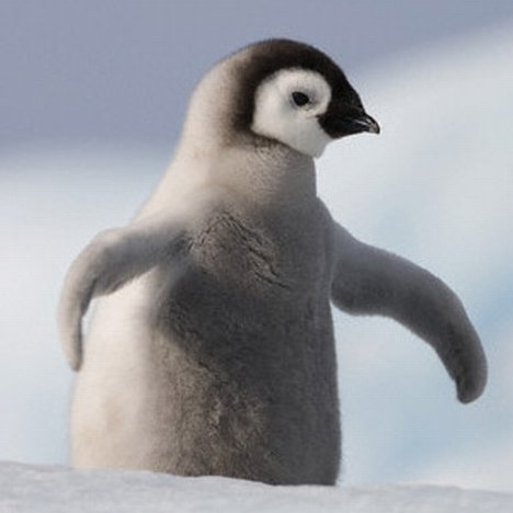 Cute baby emperor penguin - photo#5