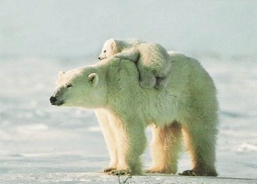 edge of the plank cute animals polar bears