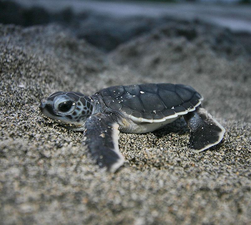 edge of the plank cute animals baby sea turtles