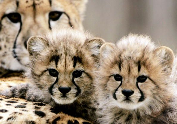Cute Animals  Baby Cheetah CubsReally Cute Baby Cheetahs