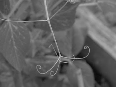 spiraling pea tendrils