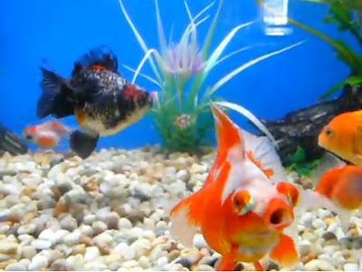 How to keep goldfish tank clean and water clear for How do you clean a fish tank