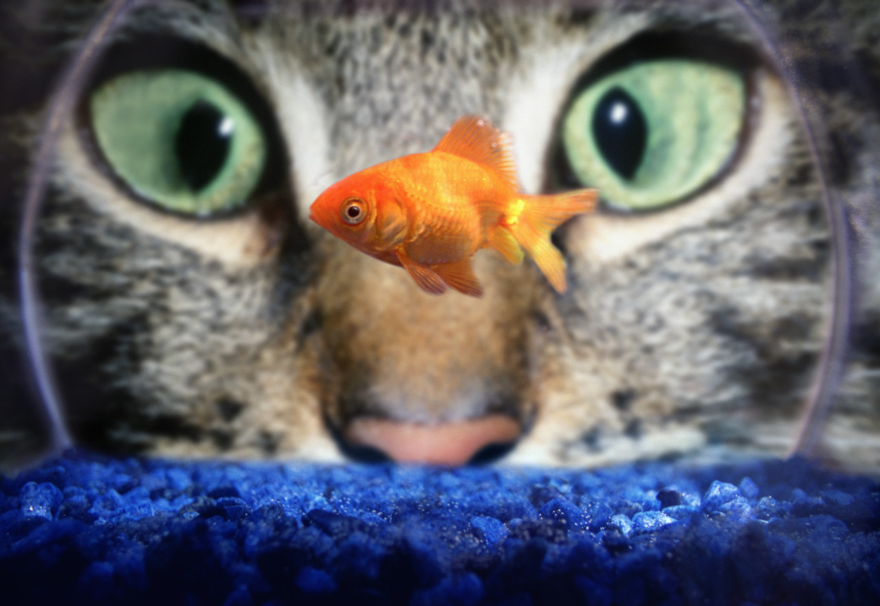 Do cats eat goldfish how to stop cats from eating for Fish for pets