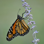 Save the Monarchs ~