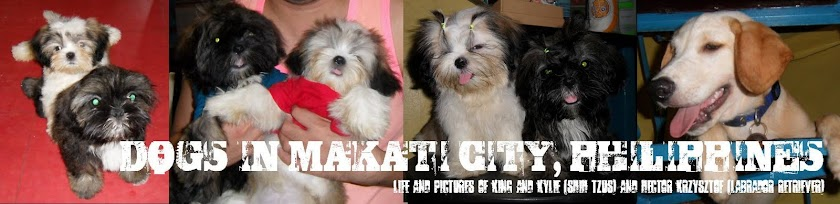 Dogs (Shih Tzus and a Labrador) in Makati City, Philippines