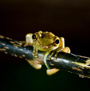 Olive Tree Frog (Scinax elaeochrous)