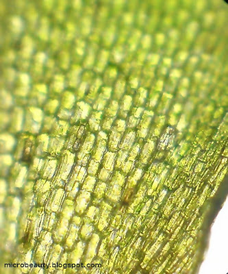 Aquatic plant's leaf surface.