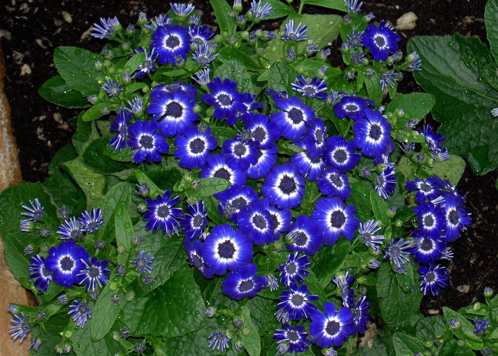 Blue Flower Images With Names