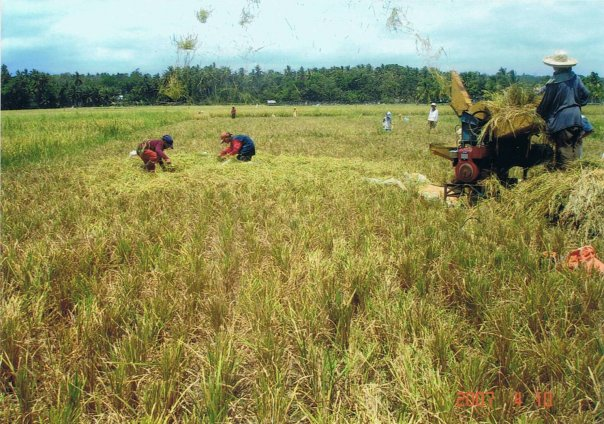 I LOVE PINES PHILIPPINES Rice Harvest Time In Pines Philippines