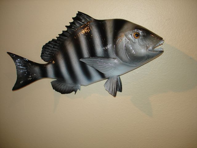 Sheepshead are toothy critters fish mount replicas for Mount this fish company