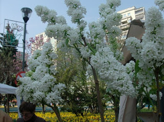 Un liliac alb si lalele in fundal