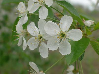 Flori de visin