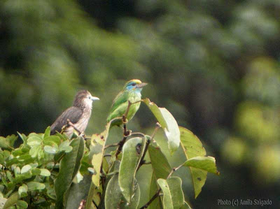 White-faced Starling & Yellow-fronted Barbet in Sinharaja