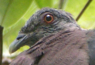 Close up of the head showing pin-feathers and naked facial areas of an immature Sri Lanka Wood Pigeon in Sinharaja 20 March, 2008