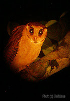 Bay Owl at night, 18 Jan, 2007