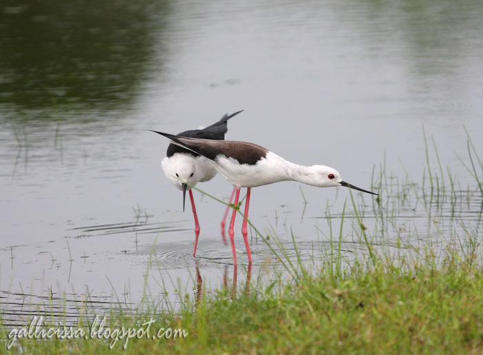 Black-winged Stilt mating sequence-2